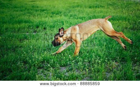 Cane Corso Whelp Puppy Running On Green Grass
