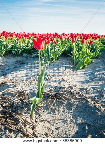 One Red Flowering Tulip In The Forefront