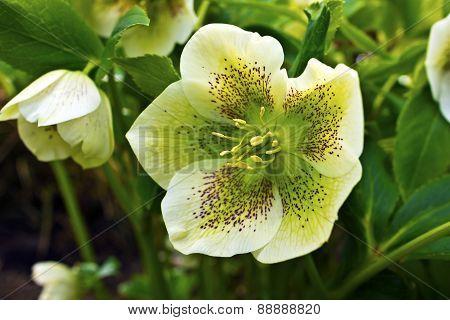 Christmas Rose flowering plant.