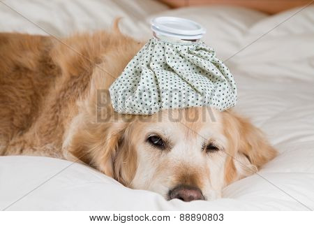 Golden Retriever Dog Cold