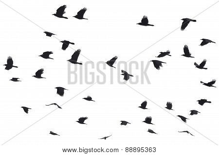 Silhouettes Of Crows Flying