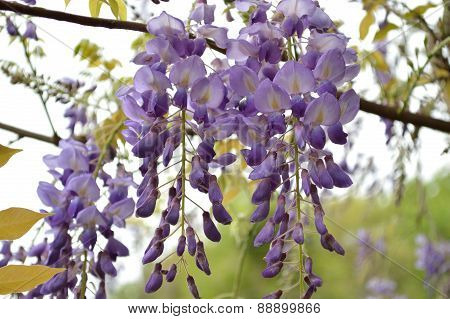 Wisteria Blooms On An Overcast Day, Closeup