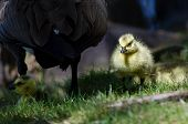 pic of mother goose  - Newborn Gosling Walking in the Green Grass Beside Mom - JPG