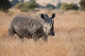 picture of rhino  - Lone rhino standing on a open area looking for safety from poachers - JPG