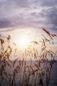 image of tall grass  - Tall grass stalks closeup against setting sun over lake - JPG