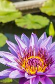 stock photo of water lily  - purple leaf lotus flower on water photo stock water lily - JPG
