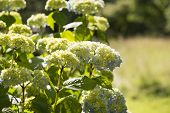 image of hydrangea  - Hydrangea Hydrangea is a genus in the family of Hydrangeaceae Hydrangeaceae - JPG