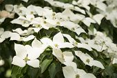 stock photo of dogwood  - Dogwood Cornus - JPG