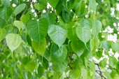 stock photo of hindu  - Bodhi Leaf from the Bodhi tree Tree for Hindus and Buddhist - JPG