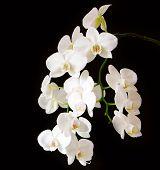 Постер, плакат: White Orchid Branch