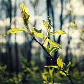 picture of bud  - First leaves and buds on the tree  - JPG