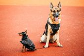image of miniature pinscher  - Brown German Sheepdog And Black Miniature Pinscher Pincher Sitting Together On Red Floor Tennis Court Outdoor - JPG