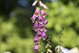image of digitalis  - Called The Foxglove Digitalis purpurea - JPG