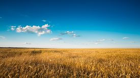 pic of yellow  - Yellow Wheat Ears Field On Blue Sunny Sky Background - JPG