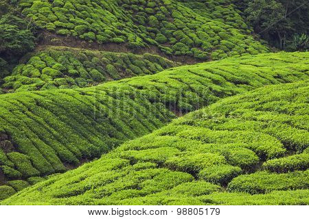 Tea Plantations In Munnar, Kerala, India