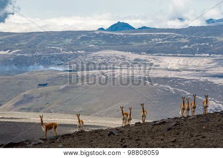 Vicuna In The High Alpine Areas Of The Andes