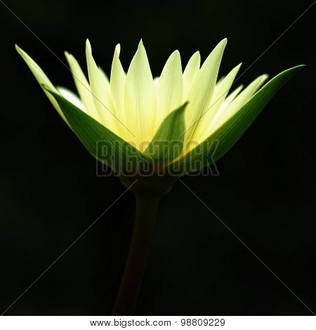 Blooming yellow water lily