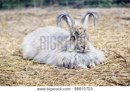 Angora Rabbit On A Straw