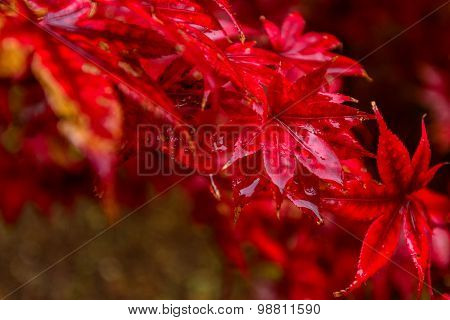 Red autumn leaves under the rain