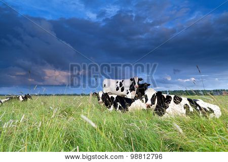 Cows Relaxed On Pasture