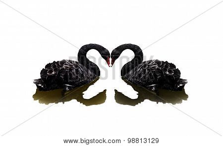 Two black swans on white background