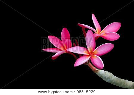Plumeria Flowers Isolated On Black
