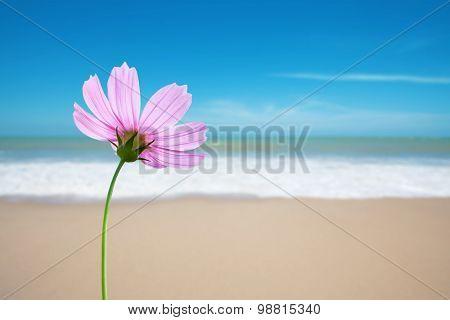 Cosmos Flower On The Beach