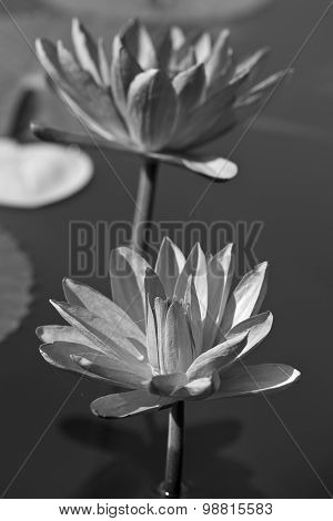 Abstract Of Waterlily
