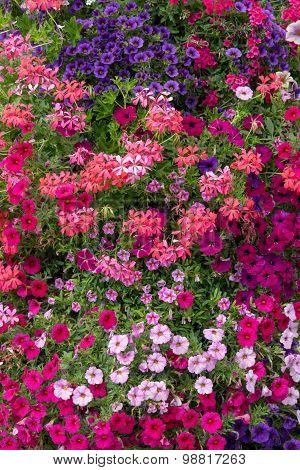 Petunias and geraniums