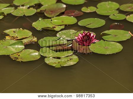 red / pink water lily flower