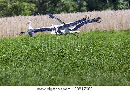A Stork In Flight In Suwalki Landscape Park, Poland.