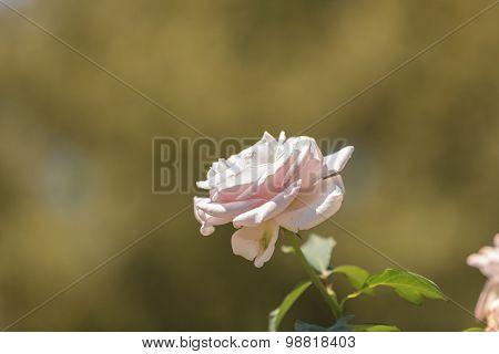 Pink rose, Rosa, blooms