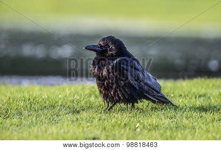 Crow Corvus corone on the grass close up