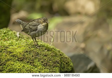 Dipper juvenile on a moss covered rock