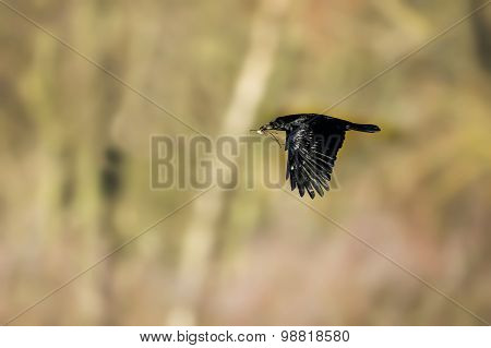 Crow Corvus corone flying with nesting material in its beak