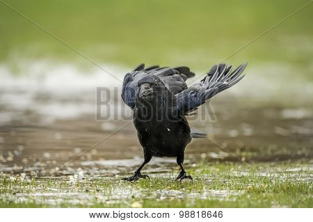 Crow standing on frozen ground in the Winter