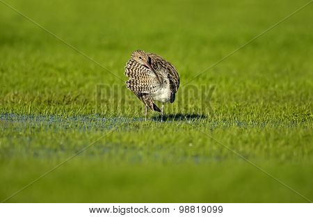 Curlew Numenius arquata preening itself on the grass