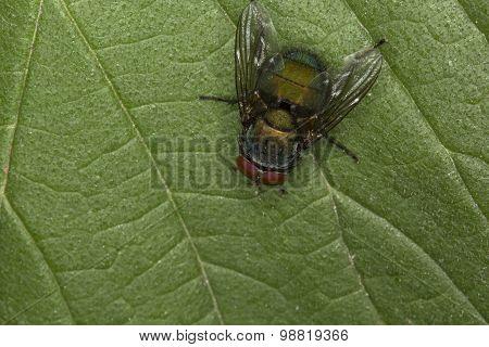 fly on a green leaf