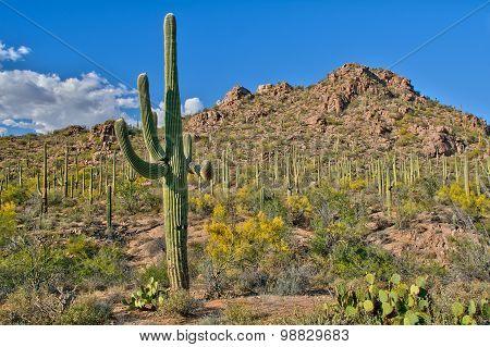 Sea Of Cactus