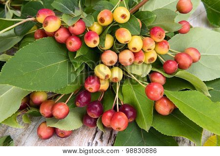 Fruits Of Wild Apple With Leaves