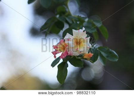 Wild pink and white rose