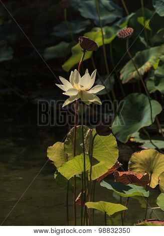 Yellow and pink lotus flower