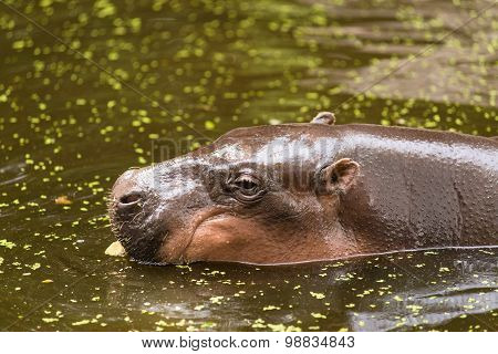 Hippopotamus, animals, mammals and herbivorous.