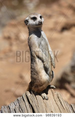 Meerkat (Suricata suricatta), also known as the suricate. Wild life animal.