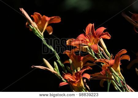 Orange lily (Lilium bulbiferum). Flowers.