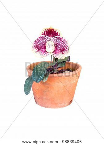 orchid in flowerpot isolated