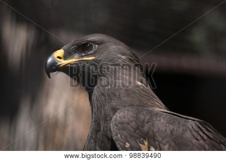 Steppe eagle (Aquila nipalensis). Wild life animal.
