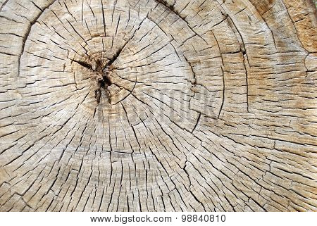Cross Section Of A Old Decaying Cotton Wood Tree