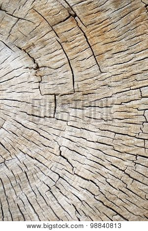 Partial Cross Section Of A Old Decaying Cotton Wood Tree