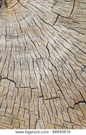 Quarter Cross Section Of A Old Decaying Cotton Wood Tree